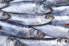 Fresh herring Close-up royalty free stock images