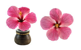 Fresh hibiscus flower isolated on white. Background Royalty Free Stock Image