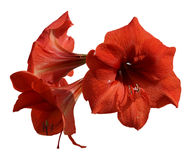 Fresh Hippeastrum flower, Amaryllis young branch of three flower Stock Image