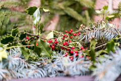Fresh holly and pine foliage for Christmas Stock Image