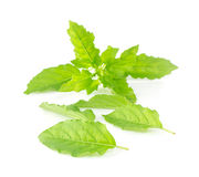 Fresh holy basil leaves on white Stock Photos
