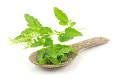 Fresh holy basil leaves on white Royalty Free Stock Image