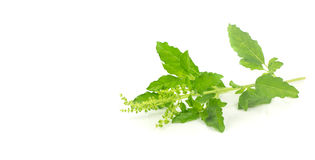 Fresh holy basil leaves on white Royalty Free Stock Image