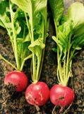 Fresh home grown raddish. Raddish freshly picked from garden Royalty Free Stock Photo