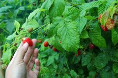 Fresh home-grown Raspberry Royalty Free Stock Photography