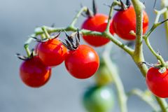 Fresh homemade cherry tomatoes on a branch  at Corfu Greece. 