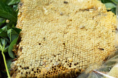 Fresh honey in the comb Royalty Free Stock Photo