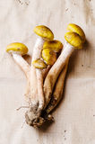 Fresh honey fungus mushrooms Royalty Free Stock Images