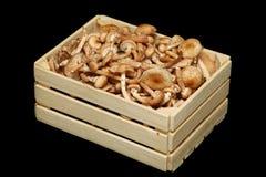 Fresh honey mushrooms in wooden basket. Royalty Free Stock Image
