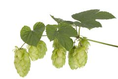 Fresh hop Stock Photos
