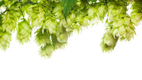 Fresh hop border Royalty Free Stock Images