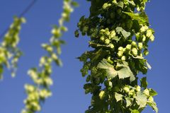 The fresh hop cone Stock Photo