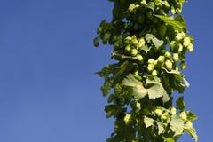 The fresh hop cone Stock Photo