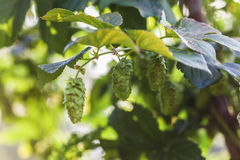 Fresh Hop Cones. Hop plant close up growing on a Hop farm. Fresh and Ripe Hops ready for harvesting. Beer production ingredient. Brewing concept. Fresh Hop over Royalty Free Stock Photo