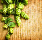Fresh hop with leaves and cones close up on burlap background Royalty Free Stock Photography