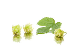 Fresh hop with leaves Royalty Free Stock Image
