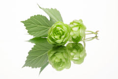 Fresh hop with leaves Royalty Free Stock Images