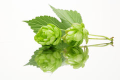 Fresh hop with leaves Royalty Free Stock Photo