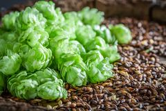 Fresh hop and malt as ingredients for beer. Closeup of fresh hop and malt as ingredients for beer royalty free stock photos