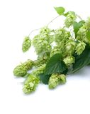 Fresh hops Royalty Free Stock Image