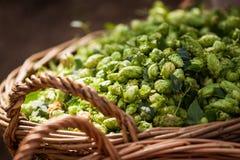 Fresh hops in basket Stock Image