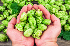 Fresh hops in the hands Stock Photos