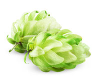 Fresh hops Royalty Free Stock Image