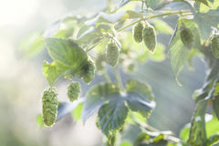 Fresh Hops In the Sun. Hop plant close up growing on a Hop farm. Fresh and Ripe Hops ready for harvesting. Beer production ingredient. Brewing concept. Fresh Hop Stock Photo