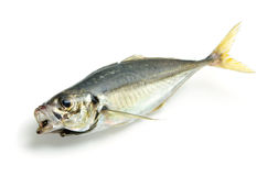 Fresh horse mackerel Royalty Free Stock Images