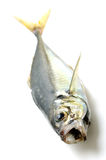 Fresh horse mackerel Royalty Free Stock Photography