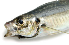 Fresh horse mackerel Stock Photos