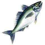Fresh horse mackerel, or Japanese jack mackerel isolated on white Stock Photo