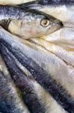Fresh horse mackerels Royalty Free Stock Images