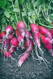 Fresh Horse radish. Stock Image