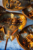 Fresh horseshoe crab on ice for sale at the local market in Sattahip, Thailand. Royalty Free Stock Images