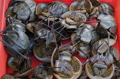 Fresh horseshoe crab in market. Stock Image
