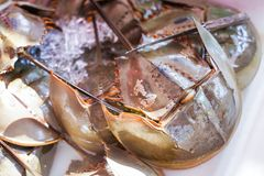 Fresh horseshoe crab from seafood store stock images