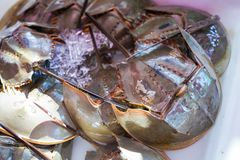 Fresh horseshoe crab from seafood store royalty free stock photos