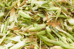 Fresh husk corn Stock Images