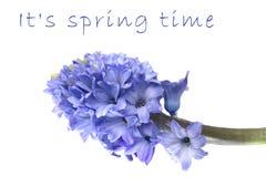 Fresh Hyacinth Stock Images