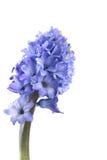 Fresh Hyacinth Stock Photography