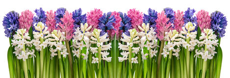 Fresh hyacinth flowers. Pink, blue, white. Floral banner Stock Photo