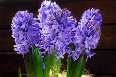Fresh hyacinth flowers Stock Photography