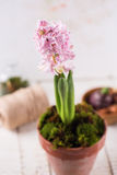 Fresh hyacinth in pot Royalty Free Stock Image