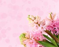 Fresh hyacinths on a pink background Royalty Free Stock Images