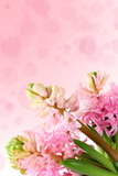 Fresh hyacinths on a pink background Stock Image