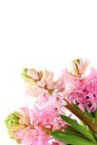 Fresh hyacinths  on a white background Royalty Free Stock Photos