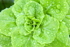 Fresh hydroponics vegetable with water dew Royalty Free Stock Photo