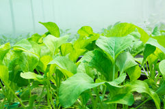 Fresh hydroponics vegetables Stock Images