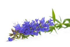 Fresh hyssop flower. HyssopHyssopus officinalis flower isolated on white background royalty free stock photo